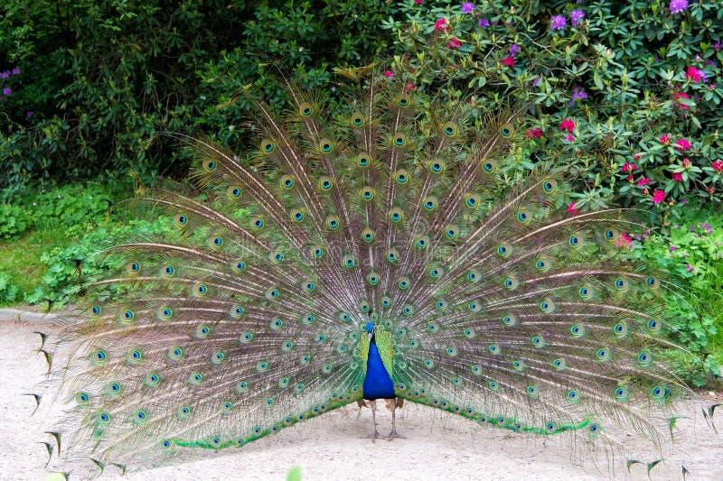 Il pavone maschio con le piume verdi blu variopinte elevate nell'adulazione sta fissando avanti diritto Bellezza naturale peacock immagine stock libera da diritti