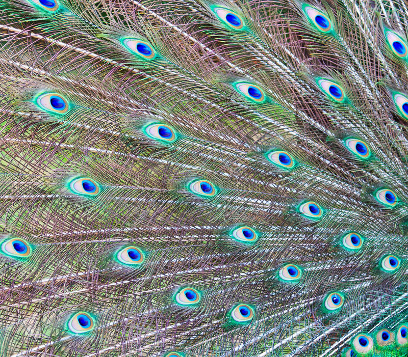 Il pavone mette le piume al fondo fotografie stock libere da diritti