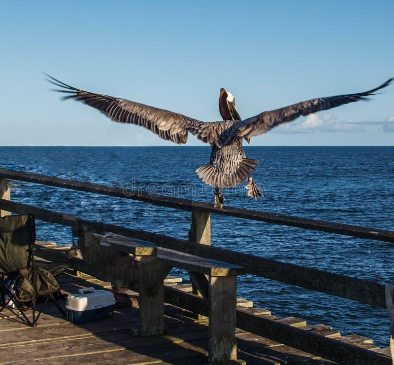 Il pellicano atterra in volo sul pilastro fotografia stock