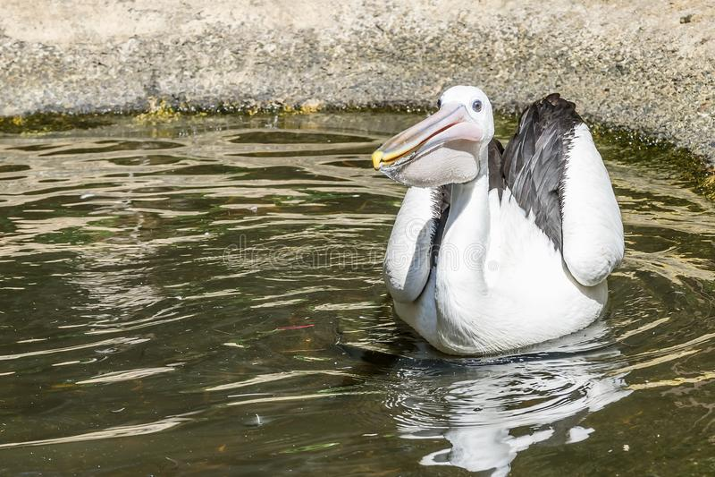 Il pellicano d'aspetto divertente nuota in uno stagno un bello giorno soleggiato, Australia occidentale fotografie stock libere da diritti