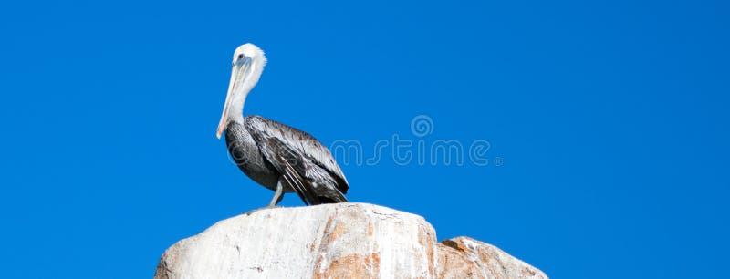Il pellicano maschio si è appollaiato sulla roccia dell'Anegada della La alle terre si conclude a Cabo San Lucas Baja Mexico immagine stock