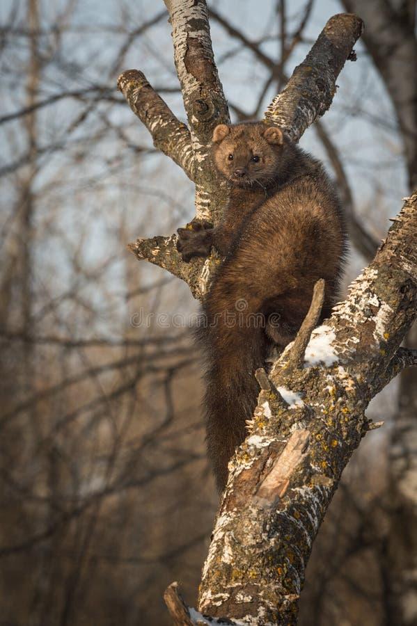 Il pennanti di Fisher Martes scruta fuori dal truffatore in albero fotografia stock libera da diritti