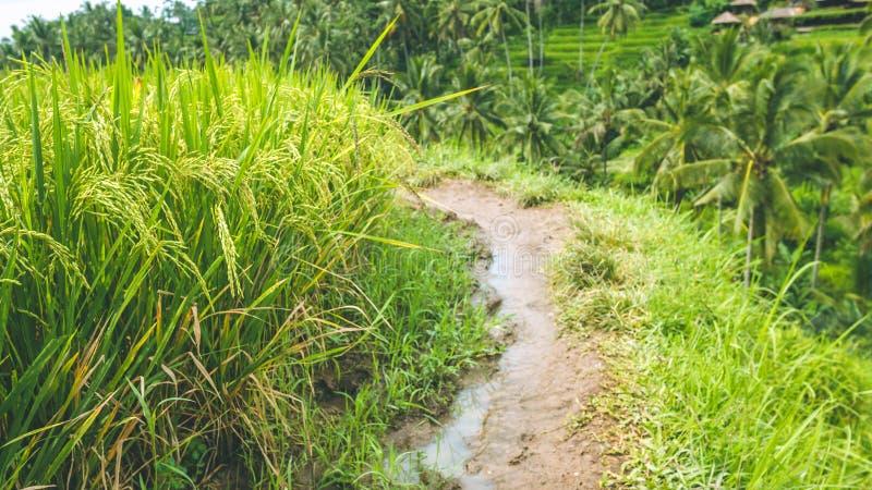 Il percorso di camminata lungo il terrazzo del riso sistema con il bello cocco vago nel fondo, Ubud, Bali, Indonesia immagini stock libere da diritti