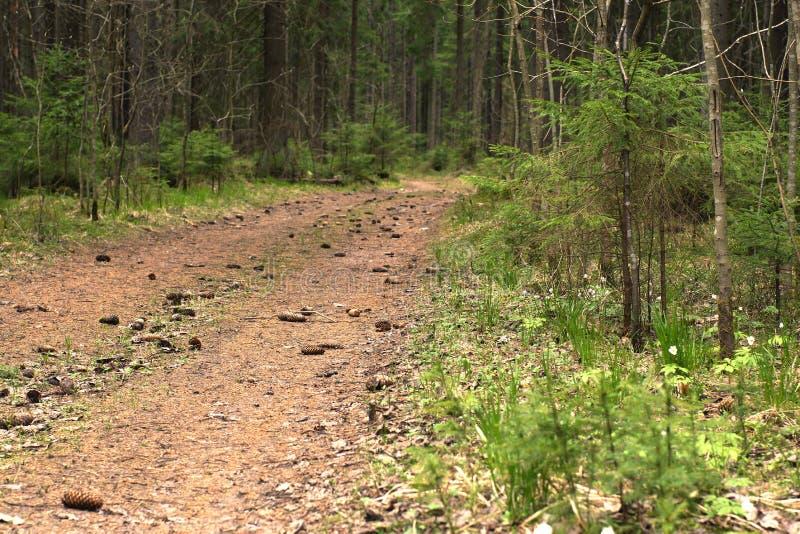 Il percorso nella foresta attillata, coperta di coni attillati, entranti in distanza immagini stock