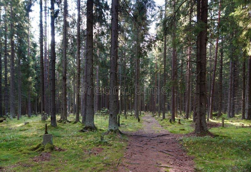 Il percorso nella foresta attillata, lasciante nel boschetto dopo i grandi alberi, collinette verdi e ceppi, il sole splende attr fotografia stock