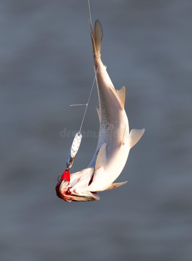 Il pescatore ha pescato il pesce sull'esca immagini stock