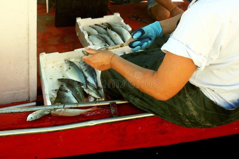 Il pescatore pulisce il pesce sull'orlo del peschereccio fotografia stock libera da diritti
