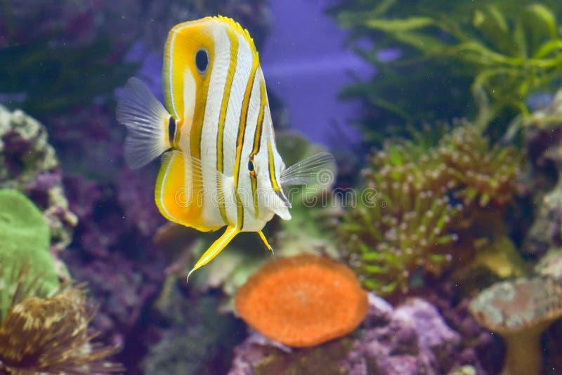 Il pesce della farfalla o può essere conosciuto come pesce ornamentale della farfalla fotografia stock libera da diritti