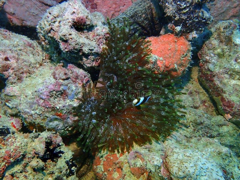 Il pesce di anemone del Clark dentro l'anemone di punta della bolla durante lo svago si tuffa l'isola di Mabul, Semporna Tawau, S fotografia stock libera da diritti