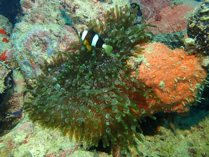 Il pesce di anemone del Clark dentro l'anemone di punta della bolla durante lo svago si tuffa l'isola di Mabul, Semporna Tawau, S immagine stock