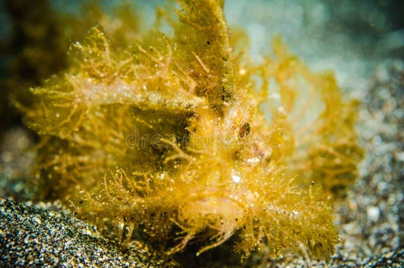 Il pesce dispari di forma bunaken lo PS subacqueo del nord dei pteroidichtys di Celebes Indonesia fotografia stock