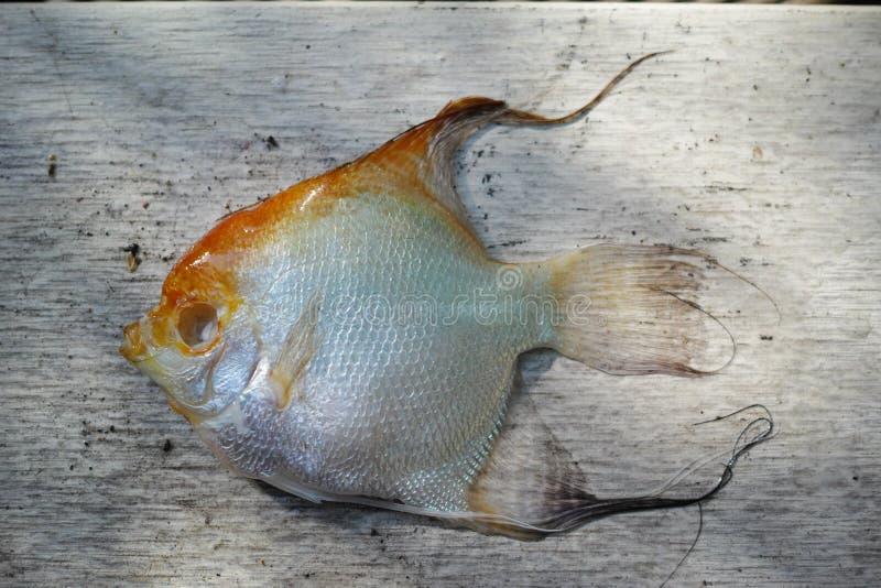 Il pesce morto di Koi, malattie ha infettato fotografie stock