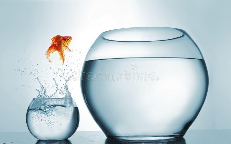 Il pesce rosso che salta in una più grande ciotola - concetto di risultato e di aspirazione fotografia stock libera da diritti