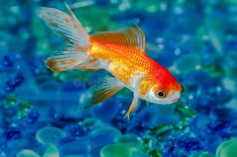 Il pesce rosso del pesce dell'oro sceglie uno nella fine dell'acquario su fotografia stock libera da diritti