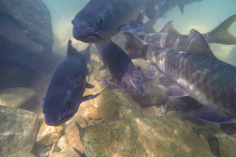 Il pesce subacqueo, la sbavatura di Mahseer, pesce vive in varie cascate nel parco nazionale di Namtok Phlio, Chanthaburi, Tailan immagini stock libere da diritti