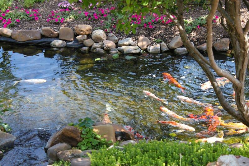 Il pesce variopinto di Koi in una roccia ha orlato la corrente allineata con gli alberi ed i fiori - fuoco selezionato fotografia stock libera da diritti