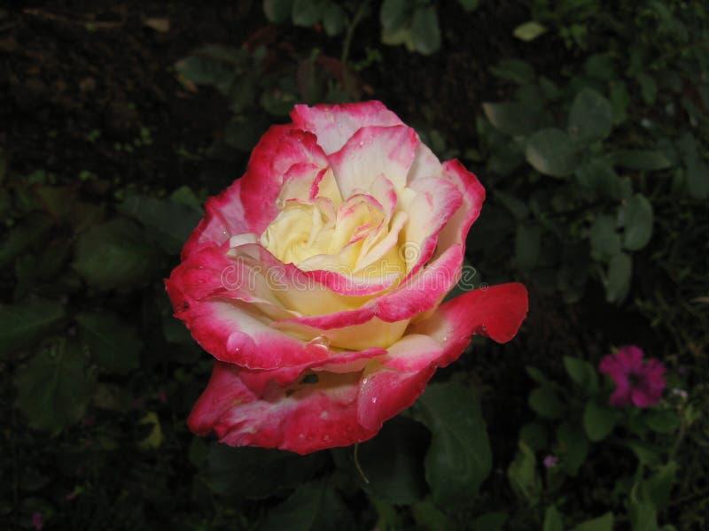 Il petalo variopinto è aumentato in giardino fotografia stock libera da diritti