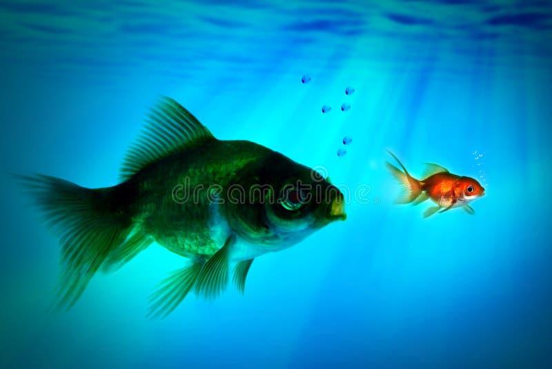 Il più grande pesce prova a mangiare quello piccolo. immagini stock libere da diritti