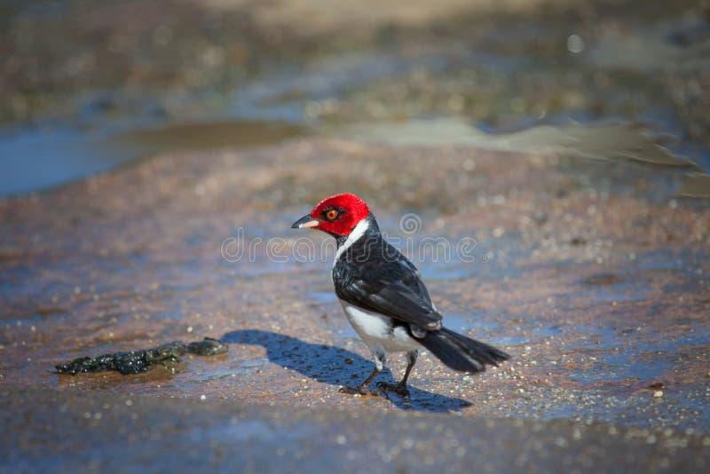 Il picchio dalla testa rosso dell'uccello raccoglie l'alimento dalla terra immagine stock