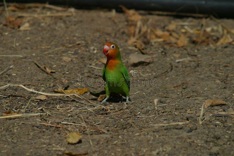 Il piccioncino di Lillian - Agapornis Lilianae immagine stock