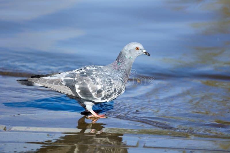 Il piccione beve l'acqua nel lago fotografie stock libere da diritti
