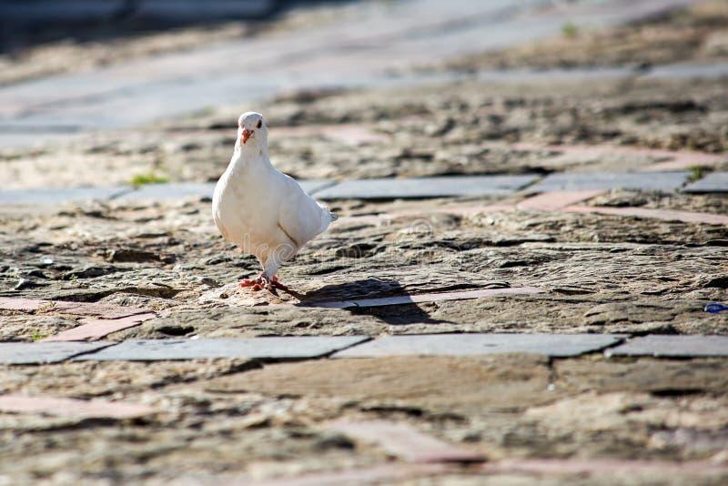 Il piccione cammina al tramonto su un quadrato principale pubblico immagini stock libere da diritti