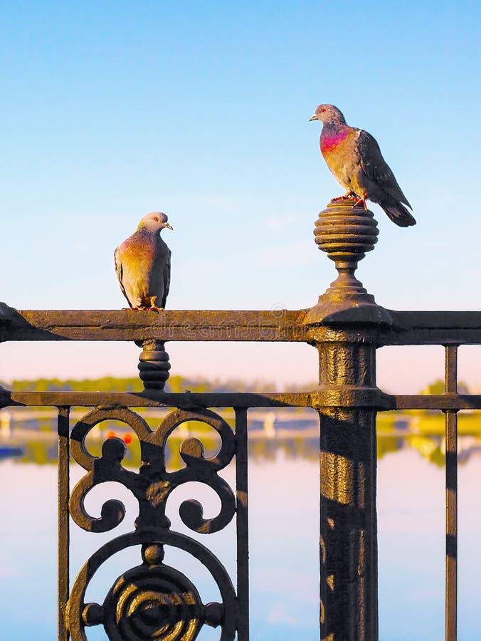 Il piccione e la colomba si siedono sul recinto modellato della grata del metallo immagini stock