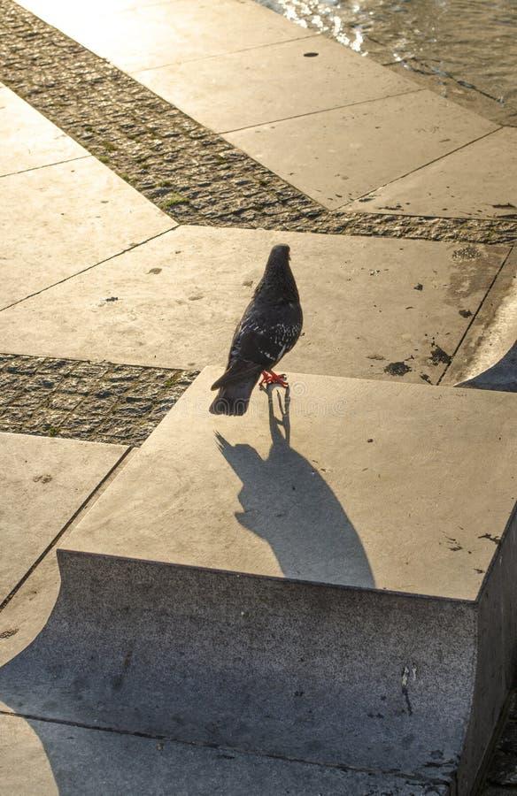 Il piccione gode del sole di mattina fotografie stock libere da diritti