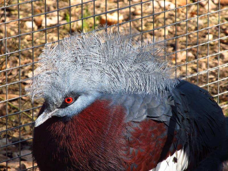 Il piccione incoronato del sud fotografia stock