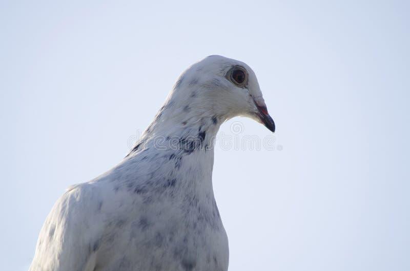 Il piccione postale di sport è bianco Ritratto del primo piano fotografie stock