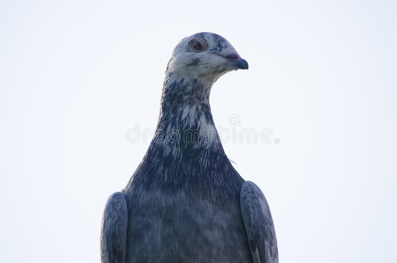 Il piccione postale di sport è grigio Ritratto del primo piano fotografia stock