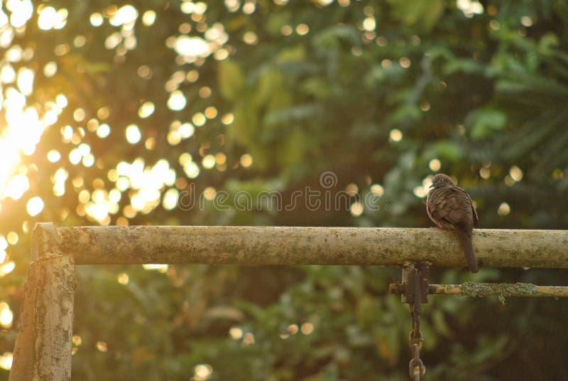 Il piccione si è tuffato posando nella luce solare di mattina fotografia stock libera da diritti