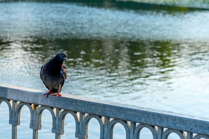 Il piccione si siede sul recinto del ponte, contro lo sfondo dell'acqua fotografia stock