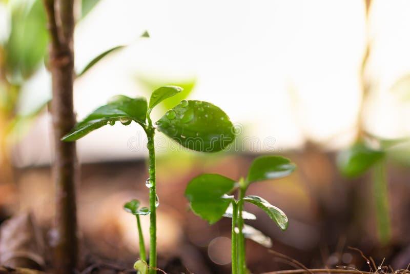Il piccolo alberello dell'albero sta sviluppando dal suolo ricco alla luce solare di mattina che sta splendendo immagine stock