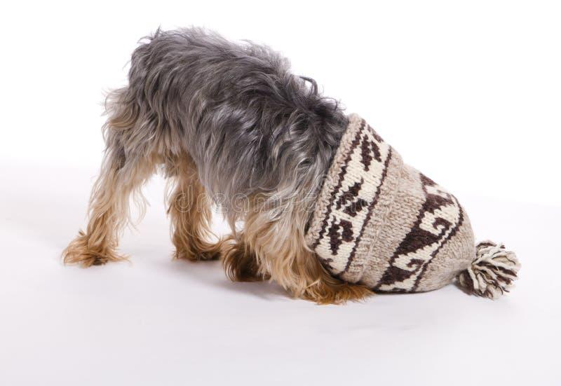 Il piccolo animale domestico maschio del cane di Yorkie ha attaccato in cappello immagine stock