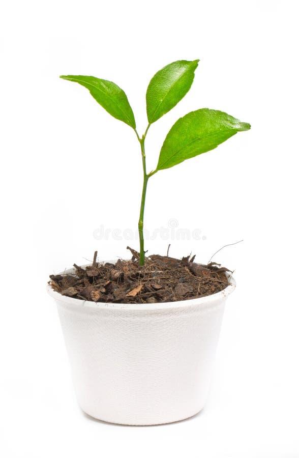 Il piccolo arancio conservato in vaso in carta ricicla il vaso. fotografia stock
