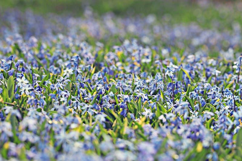 Il piccolo blu fiorisce il fondo della molla del prato fotografia stock libera da diritti