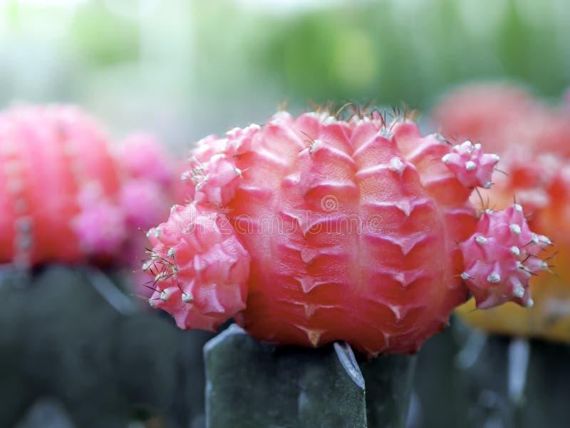 Il piccolo cactus rosso sveglio in vasi nel giardino ha offuscato il contesto di molti alberi rossi del cactus Primo piano delle  fotografie stock libere da diritti