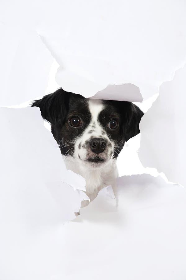 Il piccolo cane ha rotto il documento immagine stock libera da diritti
