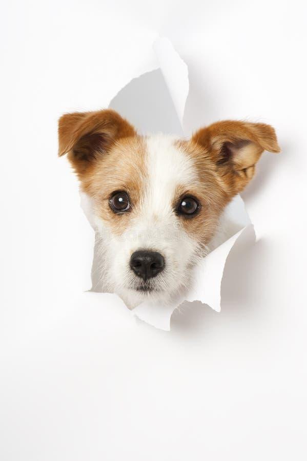 Il piccolo cane ha rotto la carta fotografia stock