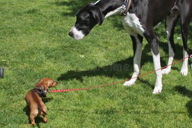 Il piccolo cane incontra il grande cane fotografie stock