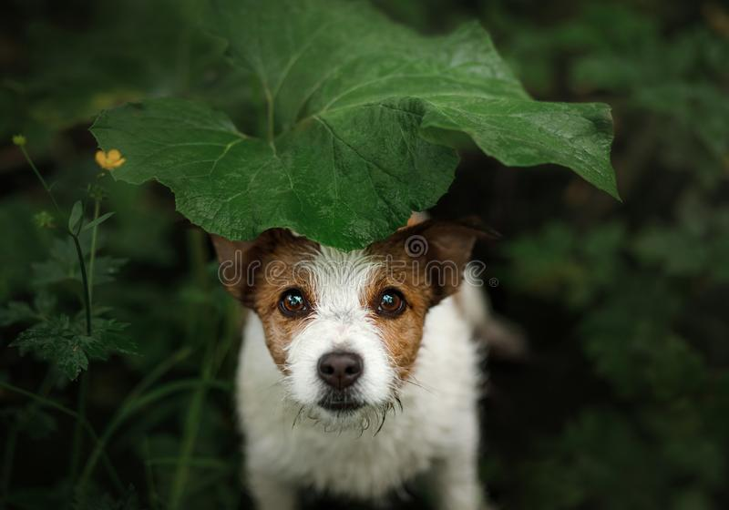 Il piccolo cane nella pioggia si nasconde sotto una foglia fotografia stock libera da diritti