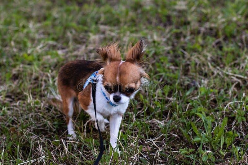 Il piccolo cane sta camminando immagine stock libera da diritti