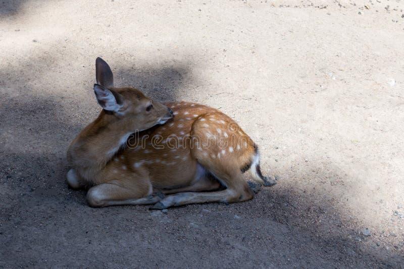 Il piccolo cervo di bambi lanuginoso sveglio si trova sulla terra nelle fughe dell'ombra dal calore di un giorno di estate caldo immagine stock