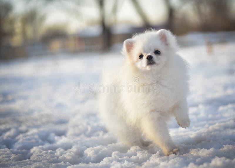 Il piccolo cucciolo allegro bianco del cane dello spitz su neve nell'inverno in bello sole rays fotografia stock