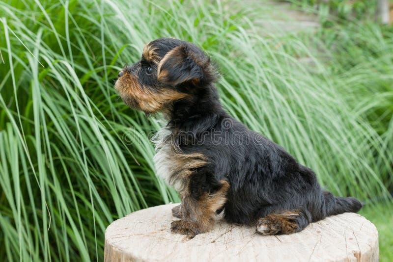 Il piccolo cucciolo nella natura, supporti dell'Yorkshire terrier lateralmente, in primo piano di profilo, cane ha alzato la sua  fotografia stock