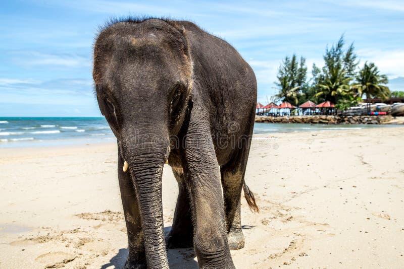 Il piccolo elefante cammina sulla spiaggia fotografie stock