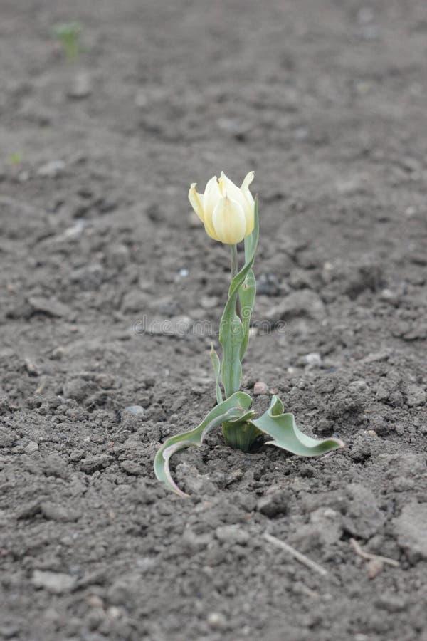 il piccolo fiore giallo del tulipano ha fiorito immagine stock libera da diritti