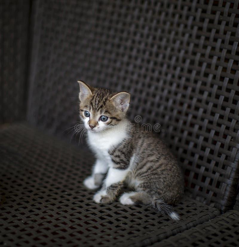 Il piccolo gattino ha barrato la coloritura bianca con gli occhi azzurri che si siedono su una sedia di vimini immagine stock