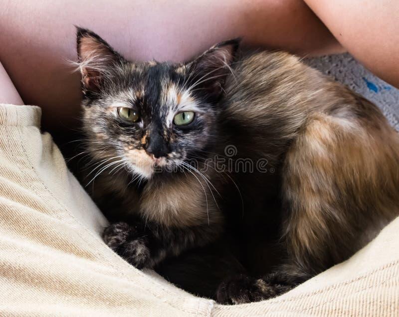 Il piccolo gattino marrone nero sveglio indica fra le gambe asiatiche gialle dell'uomo con gli shorts marroni immagini stock libere da diritti